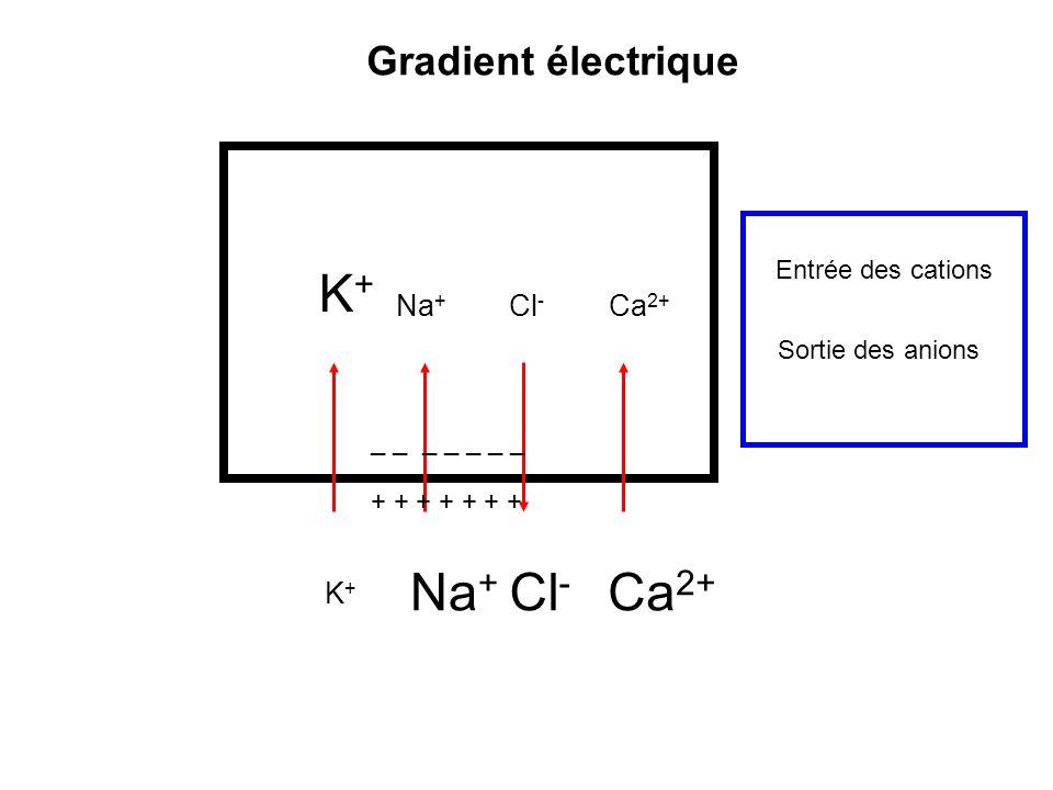 K+ Na+ Cl- Ca2+ Gradient électrique Na+ Cl- Ca2+ K+ Entrée des cations