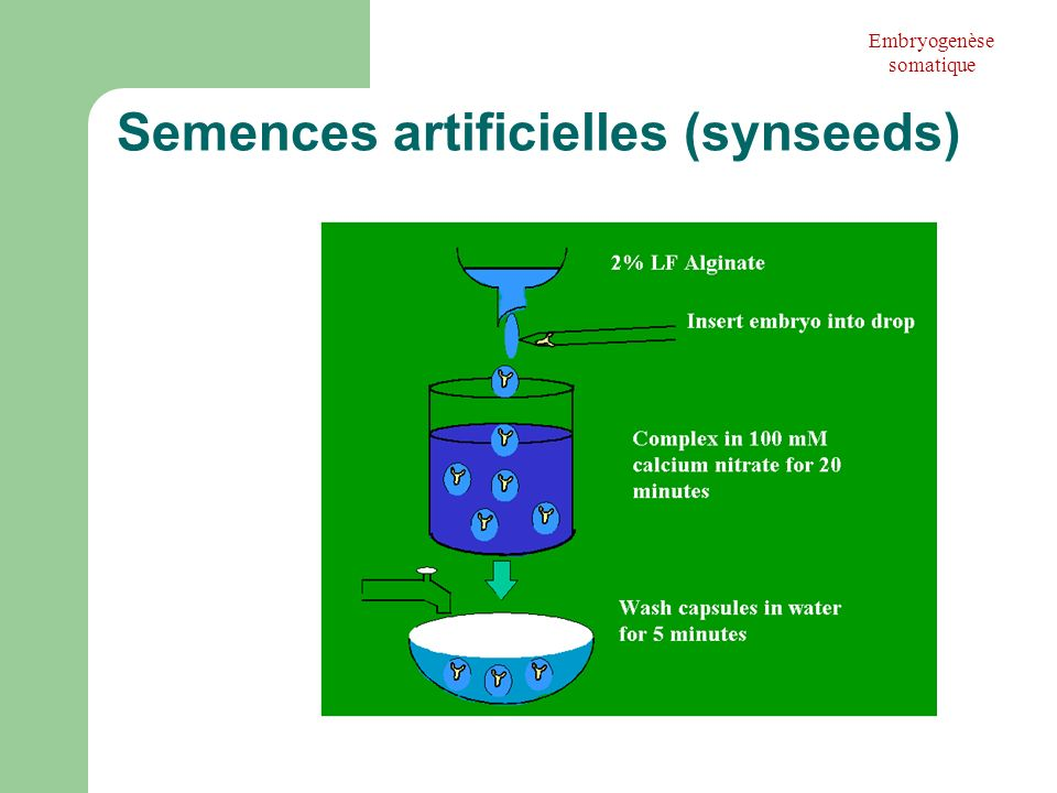 Semences artificielles (synseeds)