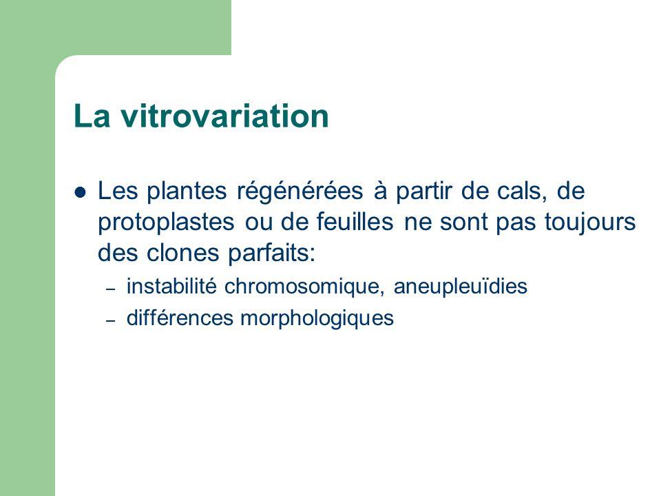 La vitrovariation Les plantes régénérées à partir de cals, de protoplastes ou de feuilles ne sont pas toujours des clones parfaits: