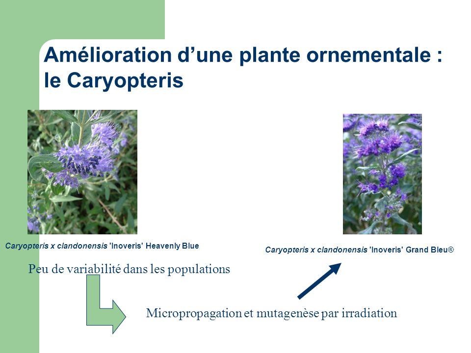 Amélioration d'une plante ornementale : le Caryopteris