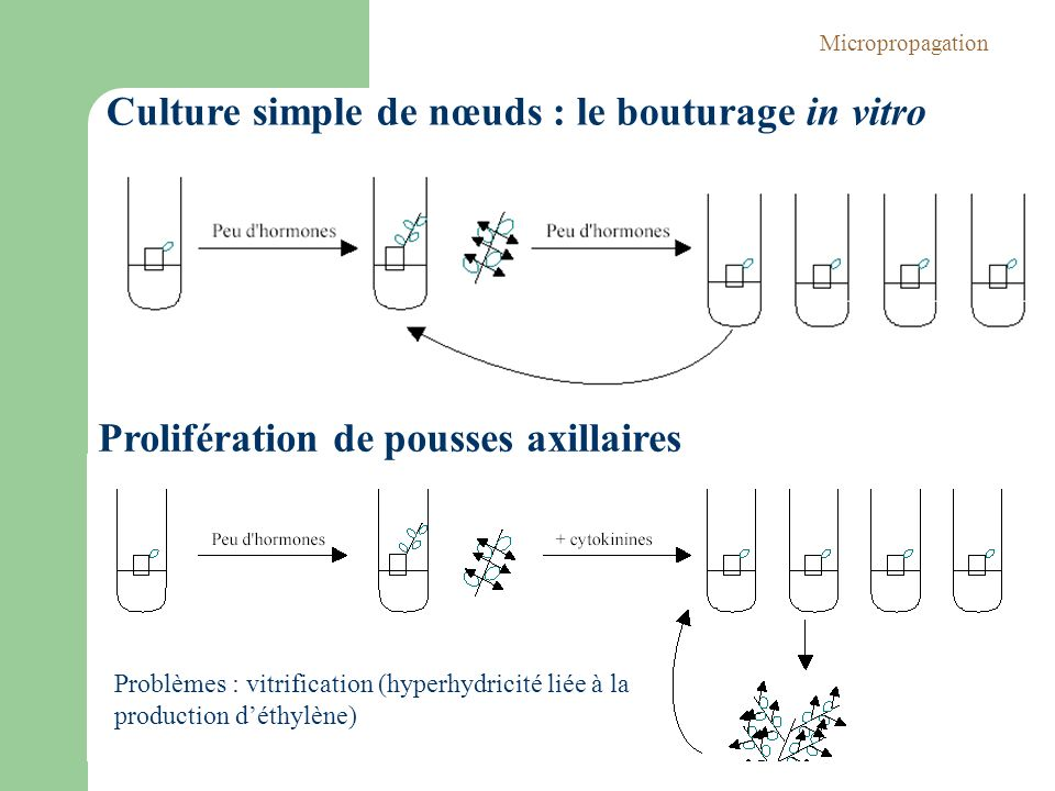 Culture simple de nœuds : le bouturage in vitro