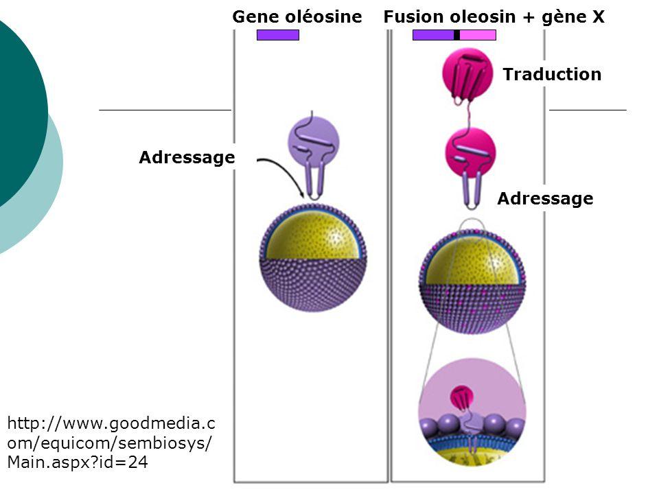 Gene oléosine Fusion oleosin + gène X. Adressage.