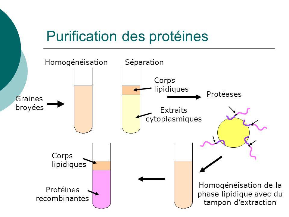 Purification des protéines