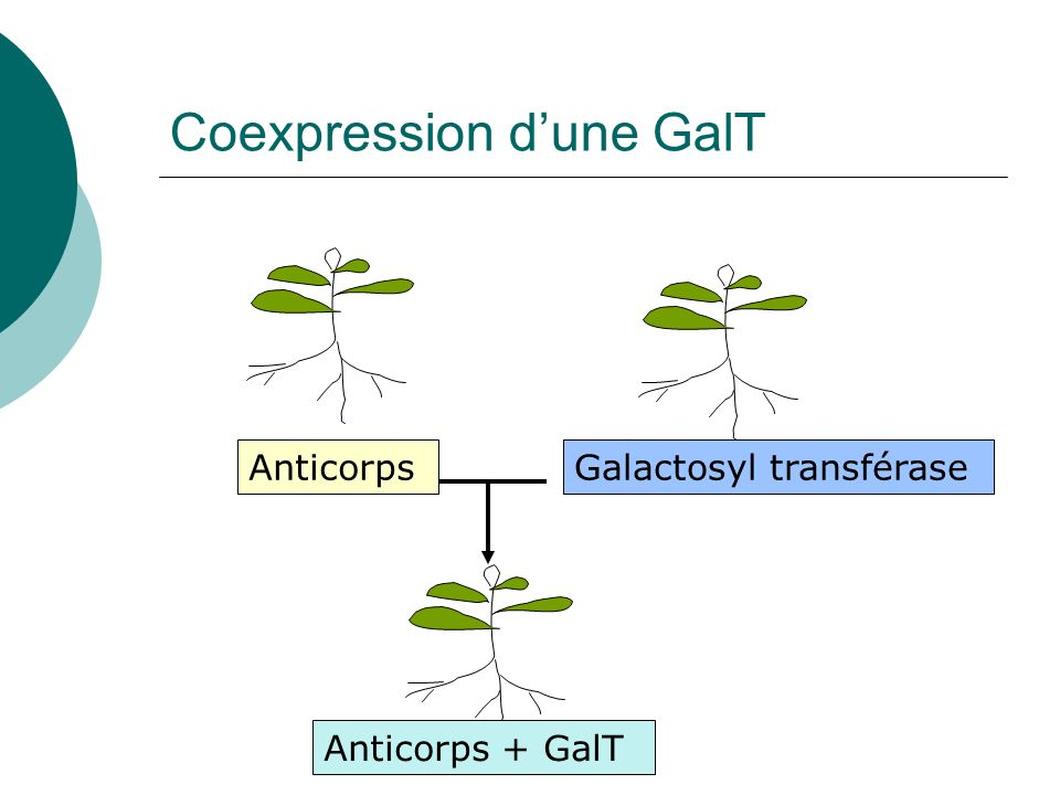 Coexpression d'une GalT