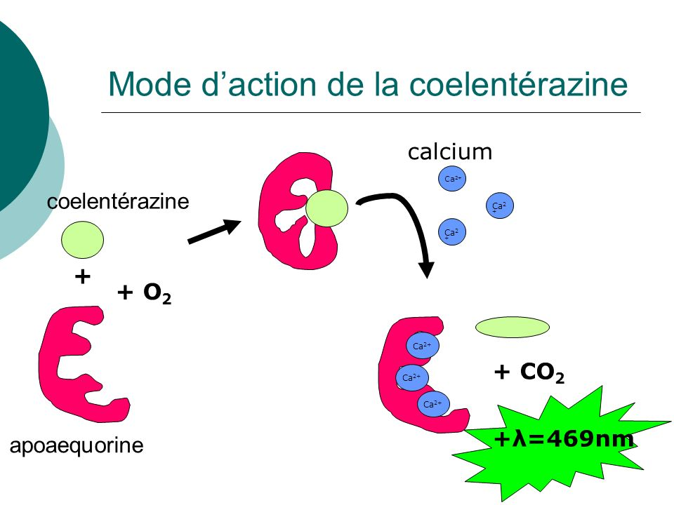Mode d'action de la coelentérazine