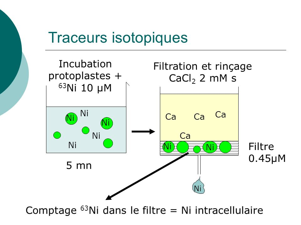 Traceurs isotopiques Incubation protoplastes + 63Ni 10 µM