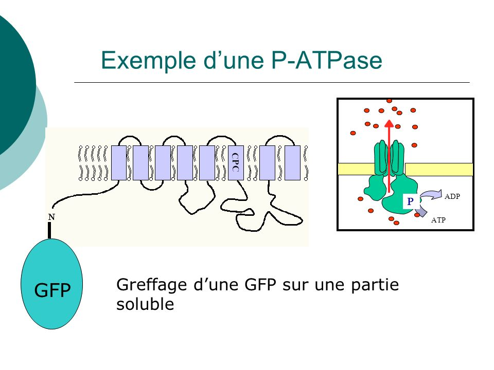 Exemple d'une P-ATPase