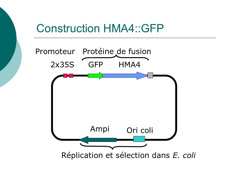 Construction HMA4::GFP