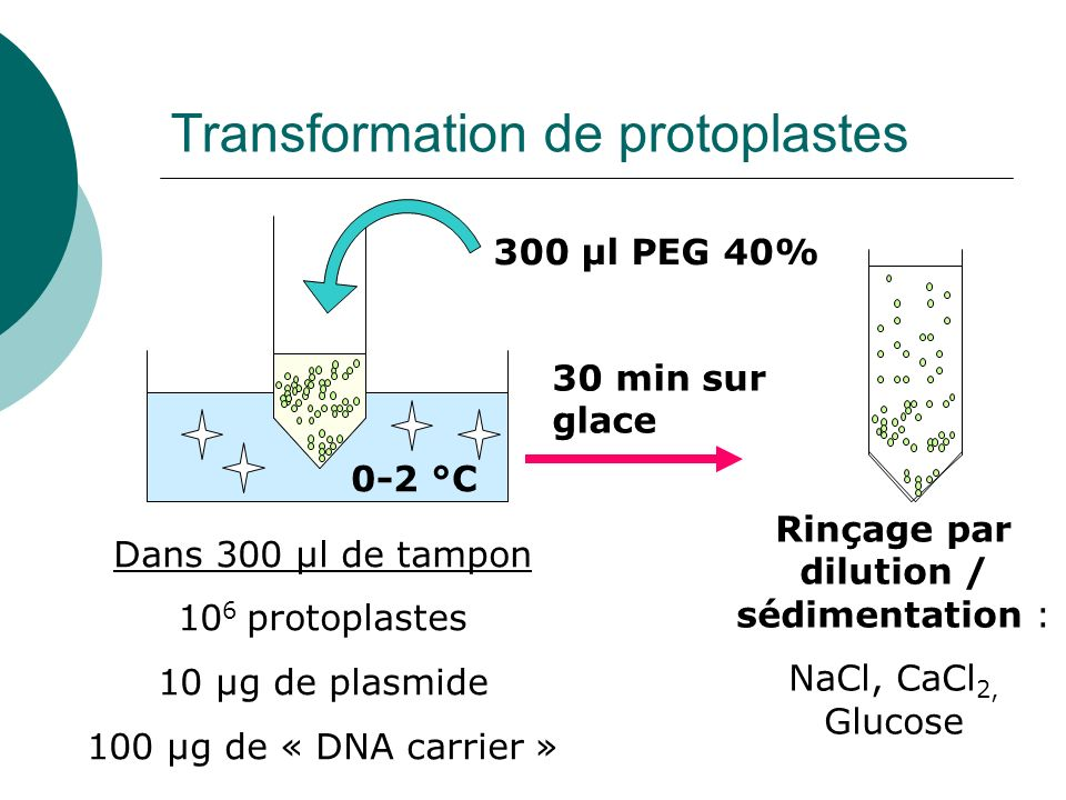 Transformation de protoplastes