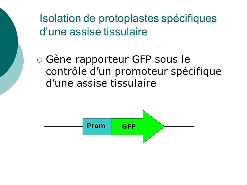 Isolation de protoplastes spécifiques d'une assise tissulaire