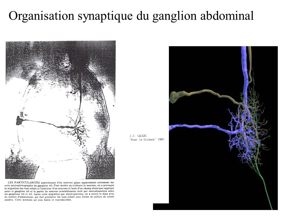 Organisation synaptique du ganglion abdominal