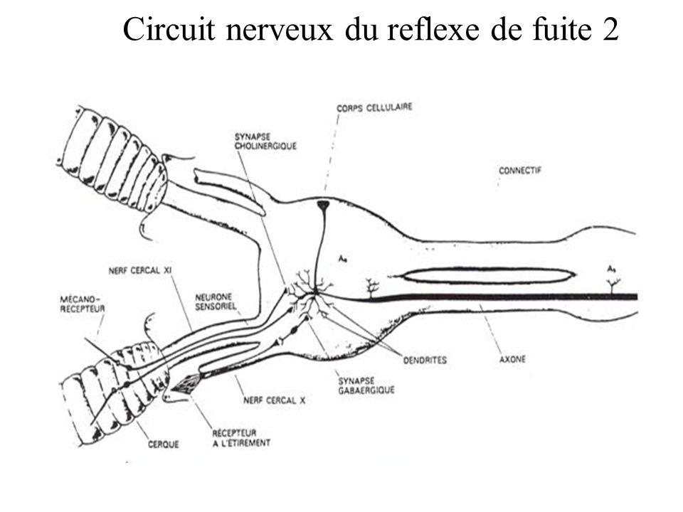 Circuit nerveux du reflexe de fuite 2