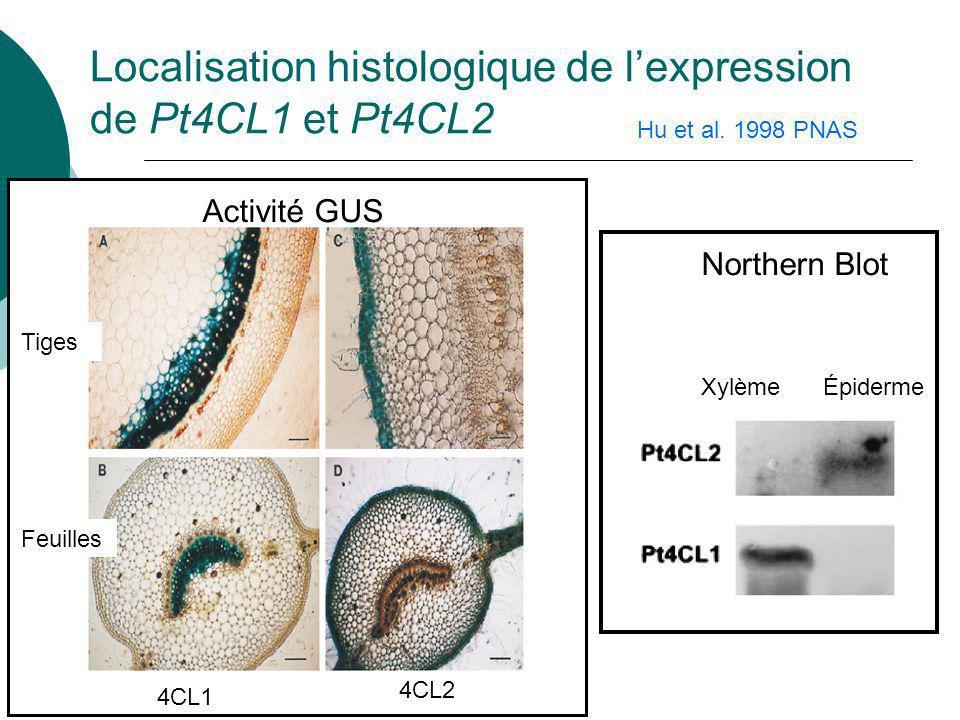 Localisation histologique de l'expression de Pt4CL1 et Pt4CL2