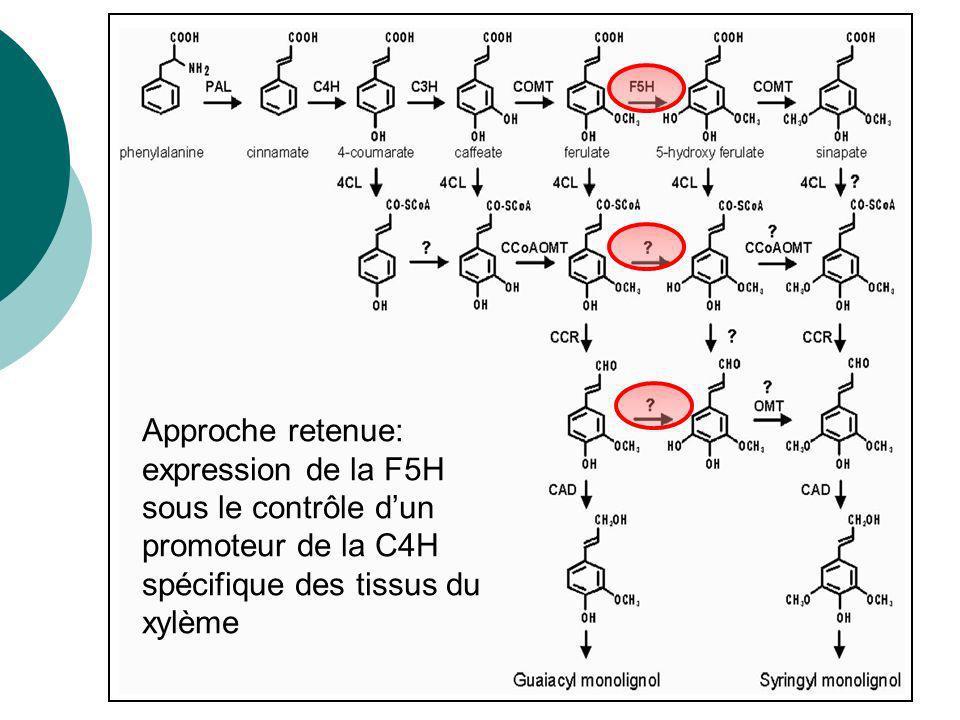 Approche retenue: expression de la F5H sous le contrôle d'un promoteur de la C4H spécifique des tissus du xylème