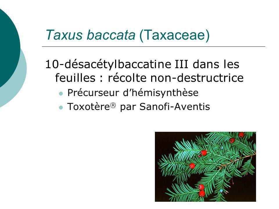 Taxus baccata (Taxaceae)