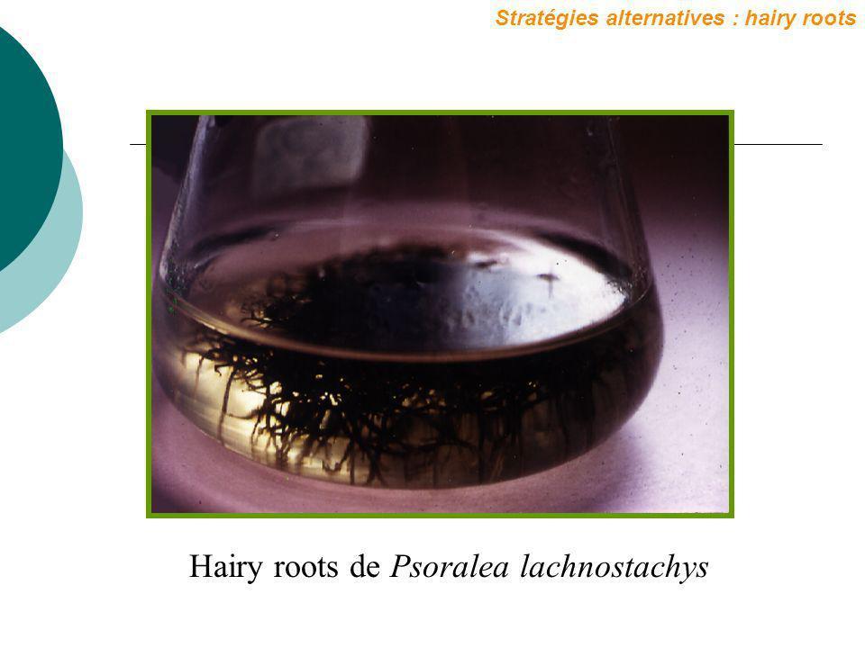 Hairy roots de Psoralea lachnostachys