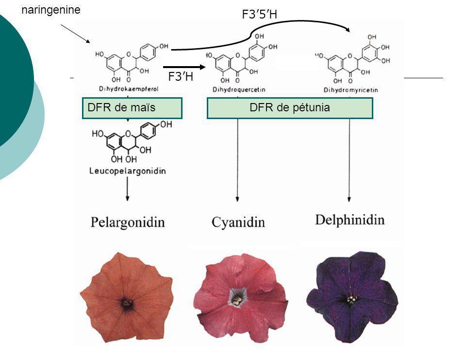 naringenine F3'5'H F3'H DFR de maïs DFR de pétunia