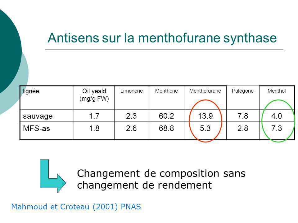 Antisens sur la menthofurane synthase
