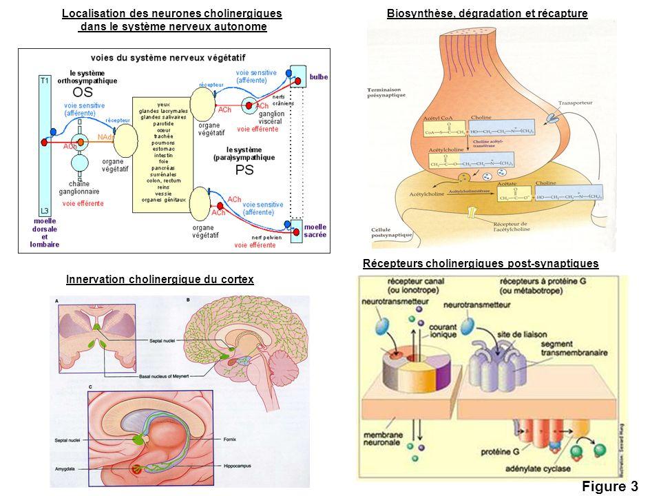 Figure 3 Localisation des neurones cholinergiques