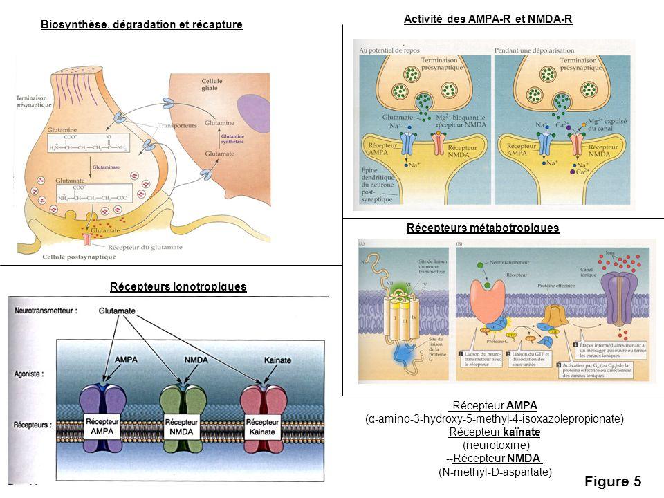 Figure 5 Activité des AMPA-R et NMDA-R