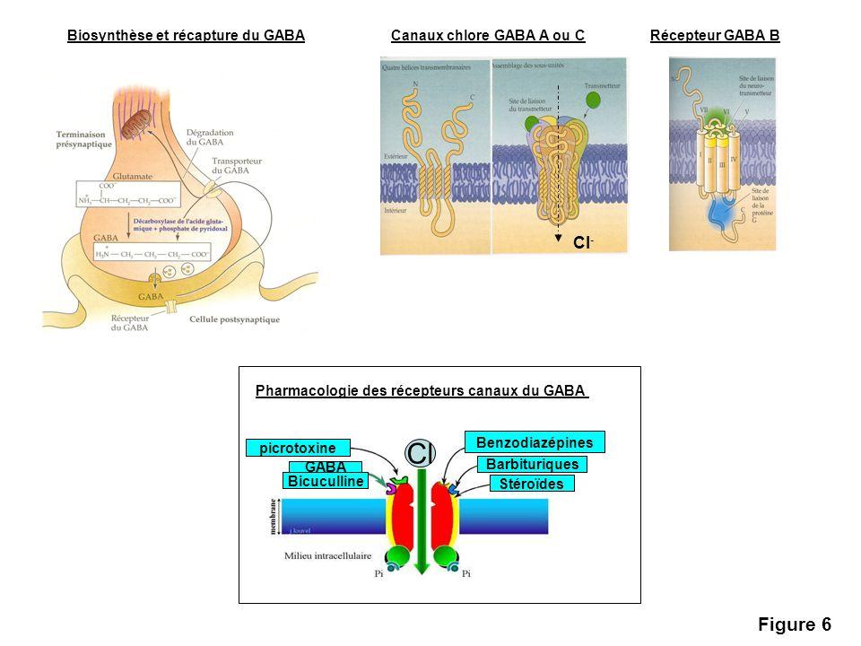 Cl Figure 6 Cl- Biosynthèse et récapture du GABA