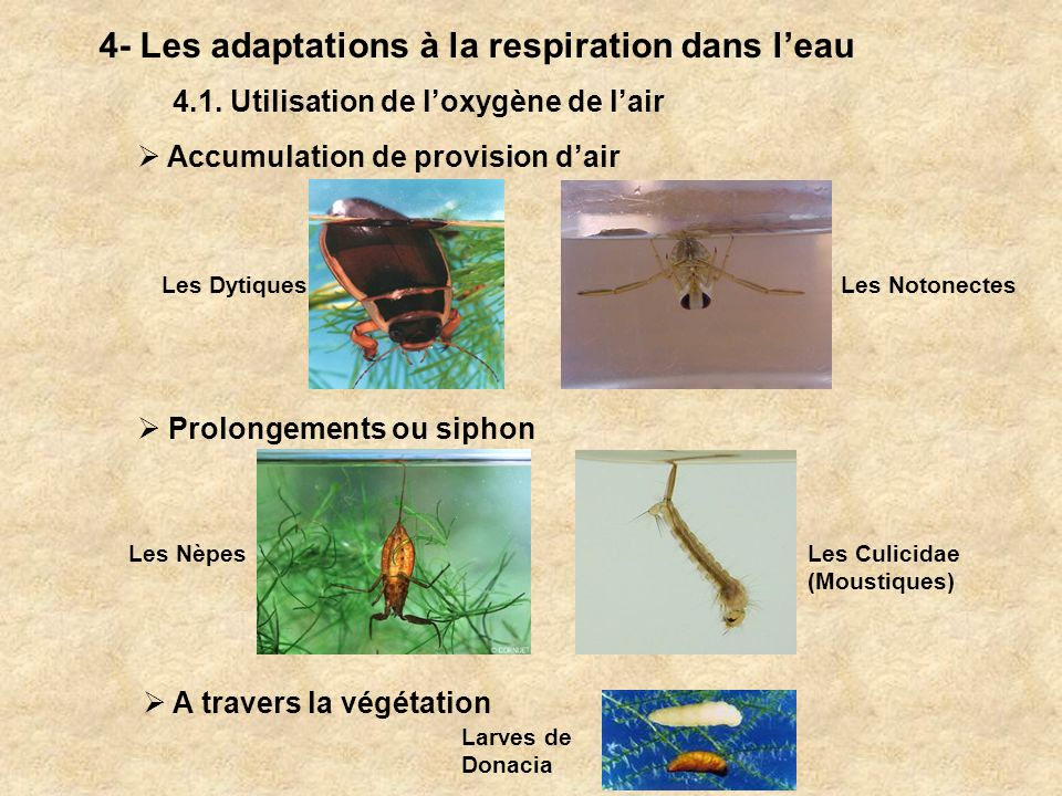 4- Les adaptations à la respiration dans l'eau