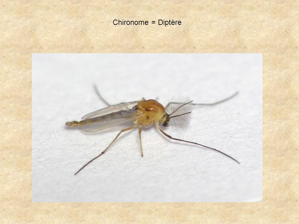 Chironome = Diptère