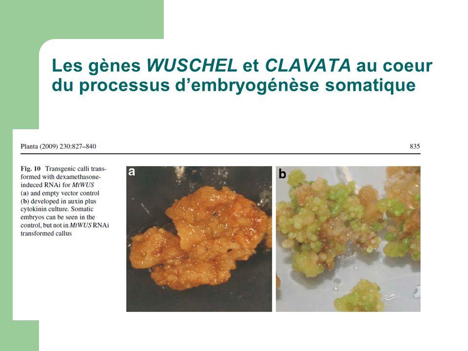 Les gènes WUSCHEL et CLAVATA au coeur du processus d'embryogénèse somatique