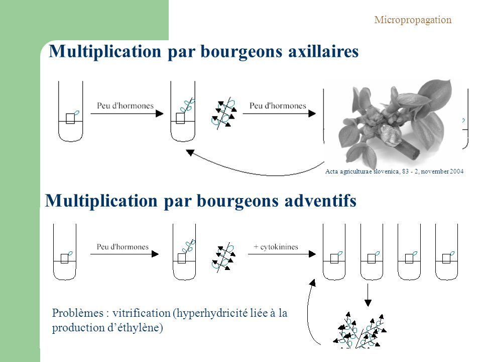 Multiplication par bourgeons axillaires