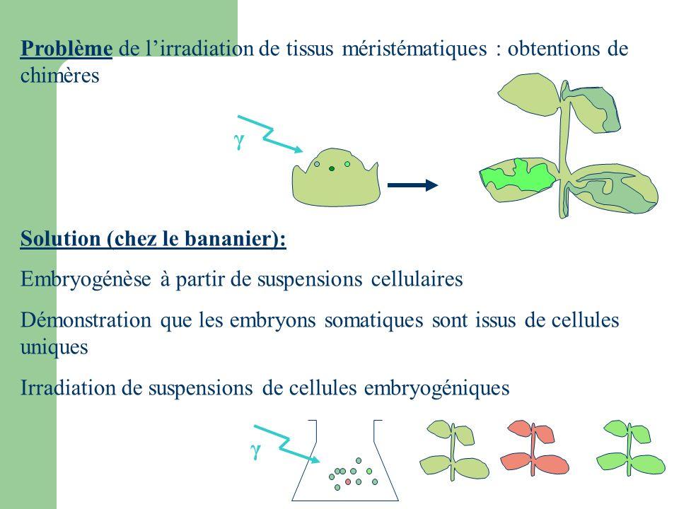 Problème de l'irradiation de tissus méristématiques : obtentions de chimères