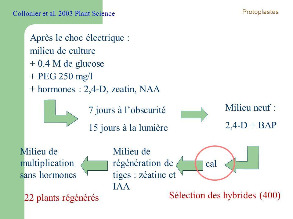 Après le choc électrique : milieu de culture + 0.4 M de glucose