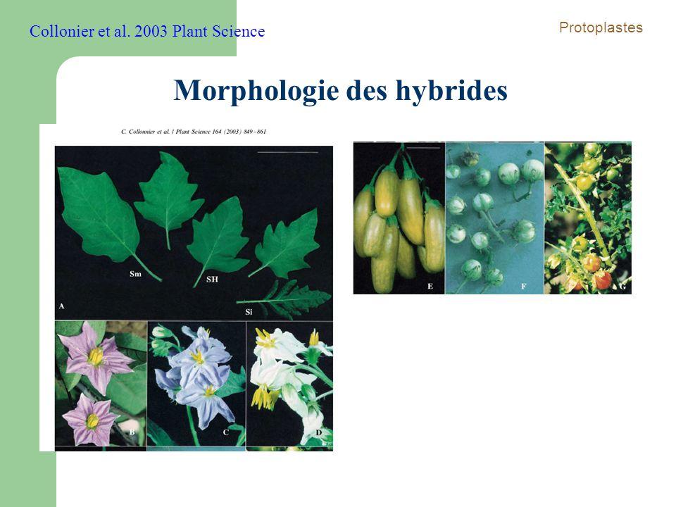 Morphologie des hybrides
