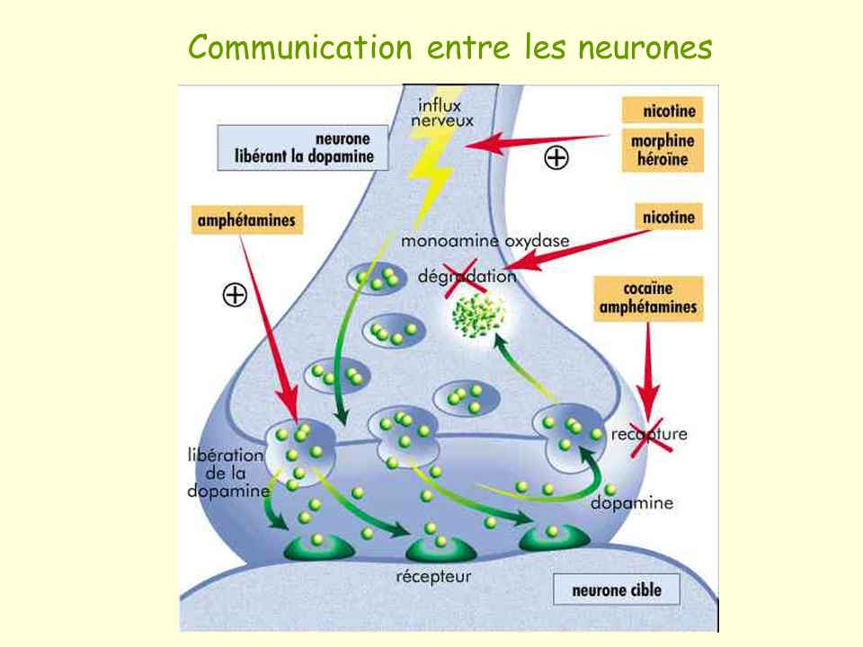 Communication entre les neurones