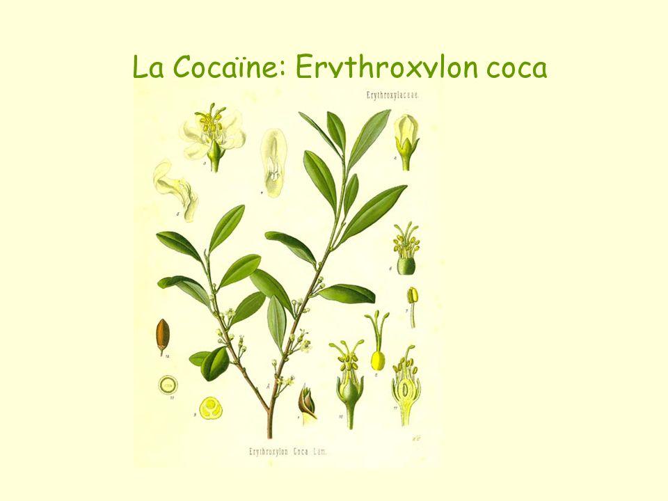 La Cocaïne: Erythroxylon coca