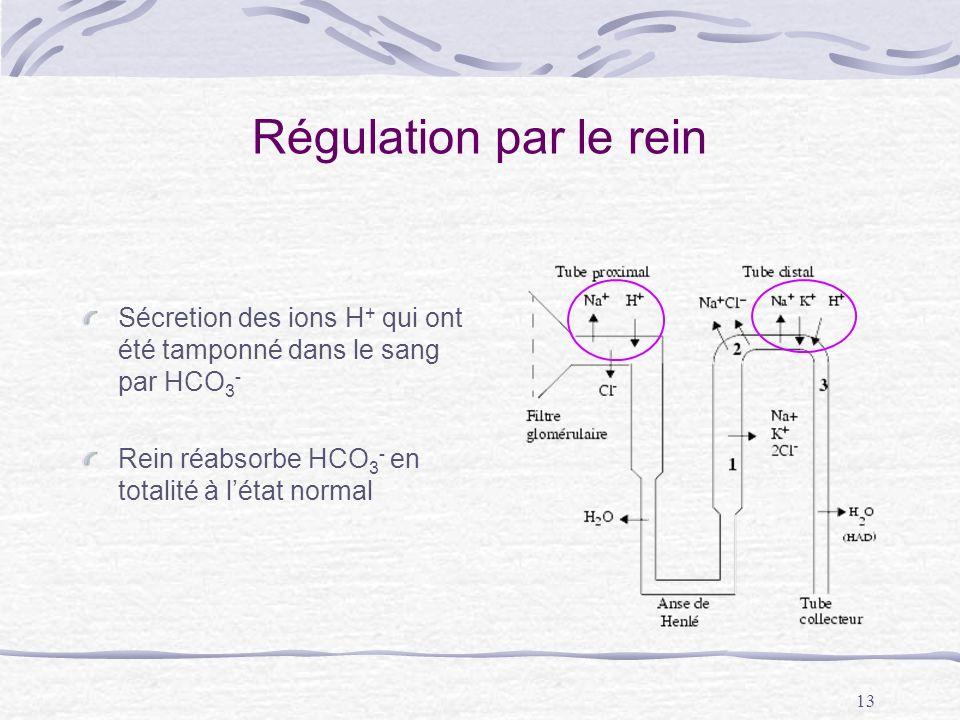 Régulation par le rein Sécretion des ions H+ qui ont été tamponné dans le sang par HCO3- Rein réabsorbe HCO3- en totalité à l'état normal.
