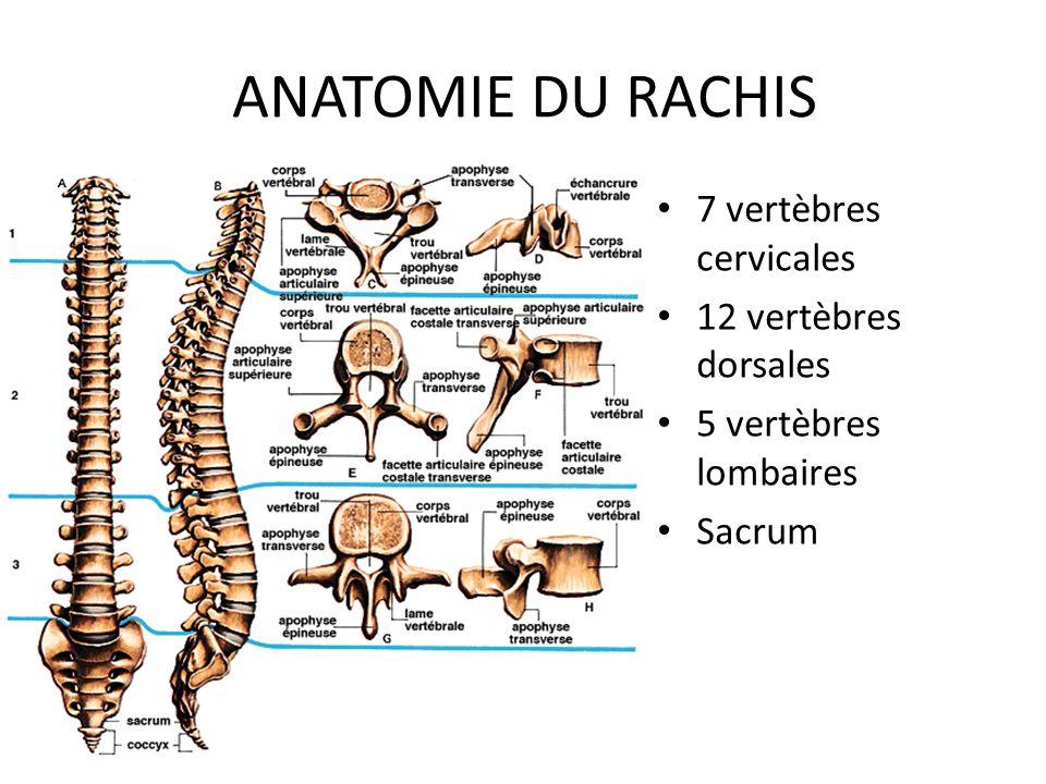 ANATOMIE DU RACHIS 7 vertèbres cervicales 12 vertèbres dorsales