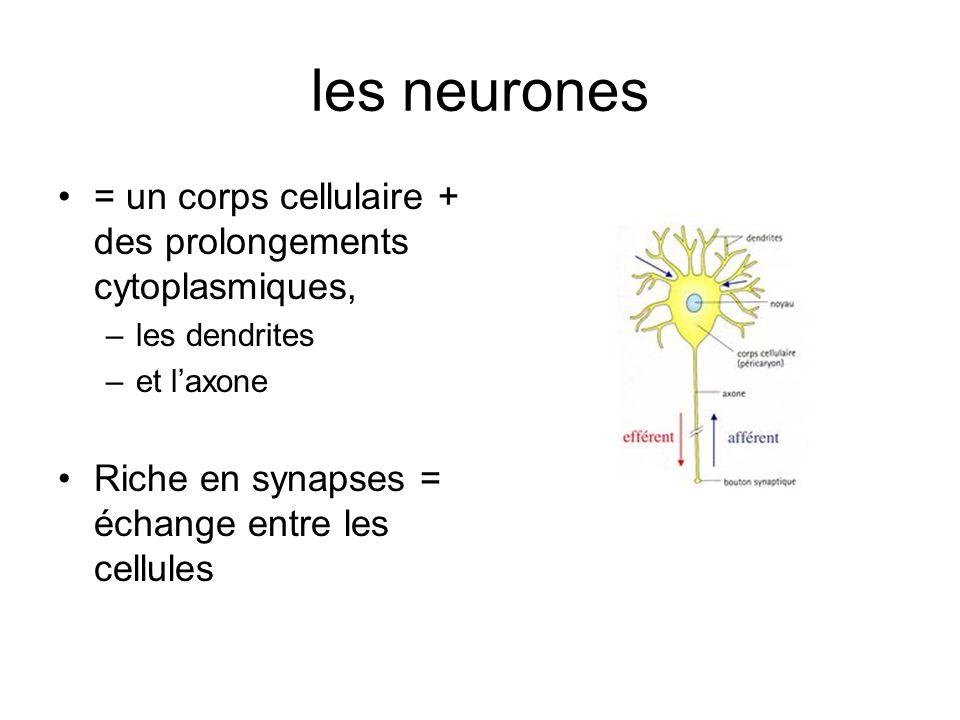 les neurones = un corps cellulaire + des prolongements cytoplasmiques,