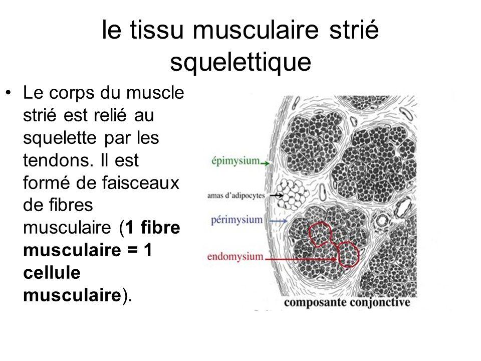 le tissu musculaire strié squelettique
