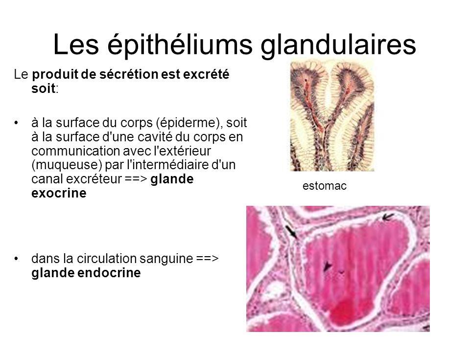 Les épithéliums glandulaires