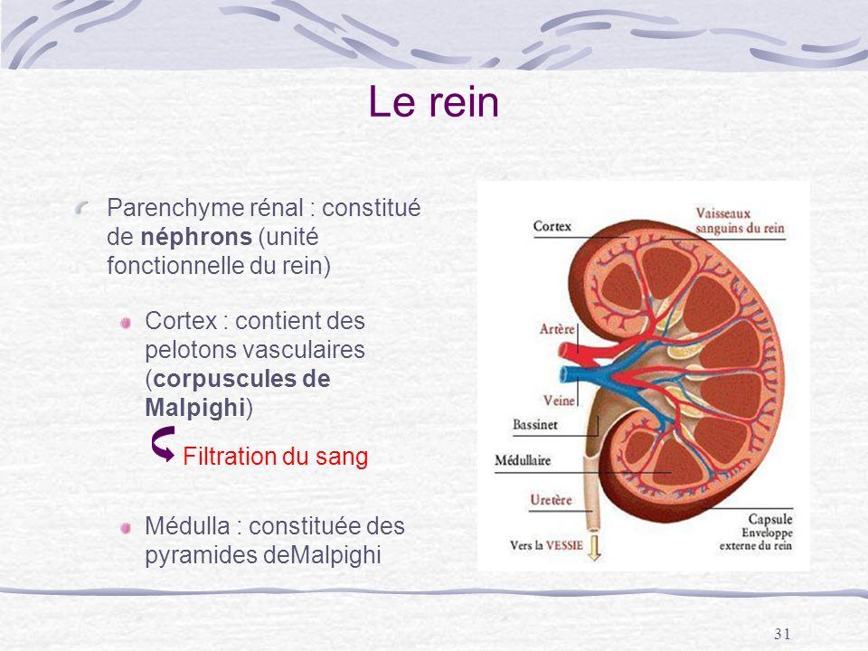 Le rein Parenchyme rénal : constitué de néphrons (unité fonctionnelle du rein) Cortex : contient des pelotons vasculaires (corpuscules de Malpighi)