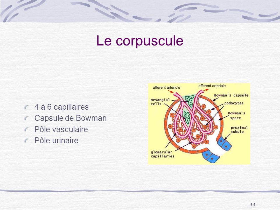 Le corpuscule 4 à 6 capillaires Capsule de Bowman Pôle vasculaire