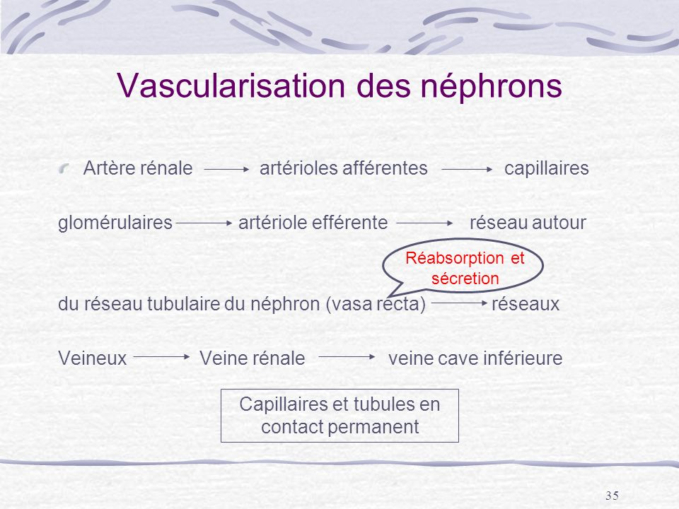 Vascularisation des néphrons