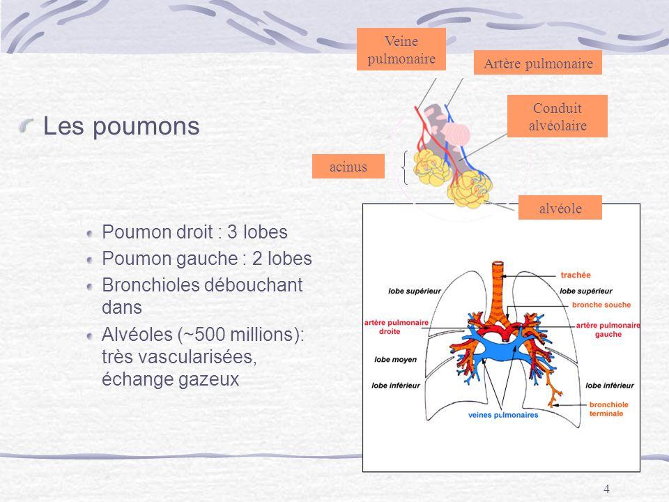 Les poumons Poumon droit : 3 lobes Poumon gauche : 2 lobes