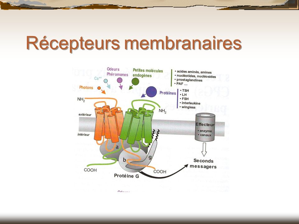 Récepteurs membranaires
