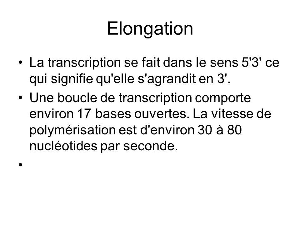 Elongation La transcription se fait dans le sens 5 3 ce qui signifie qu elle s agrandit en 3 .