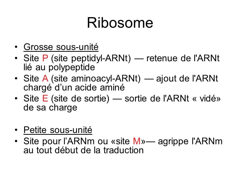 Ribosome Grosse sous-unité