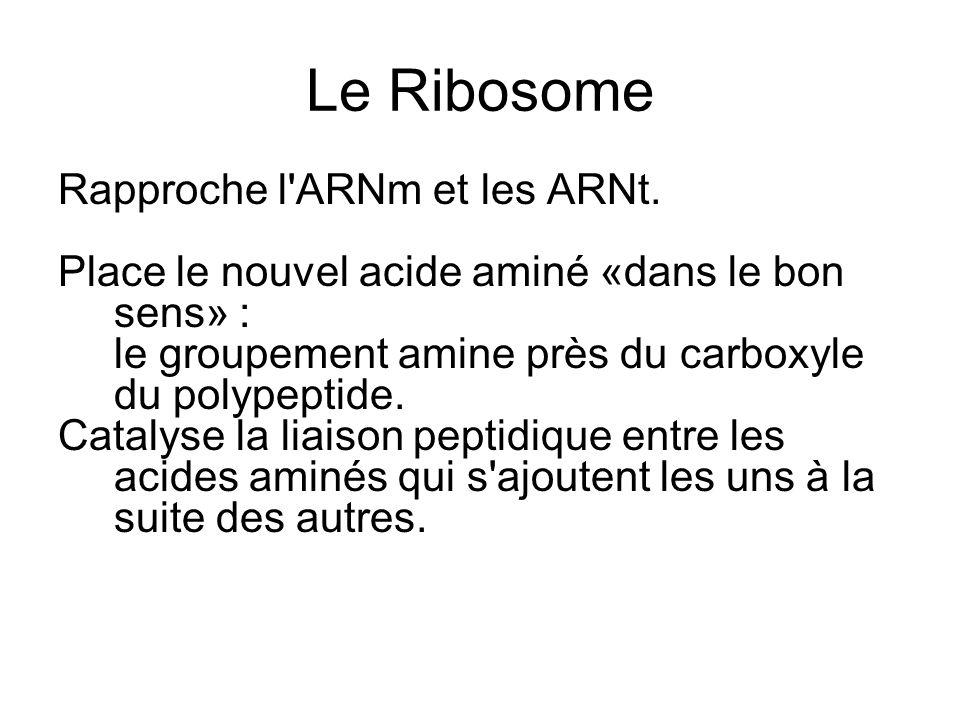Le Ribosome Rapproche l ARNm et les ARNt.