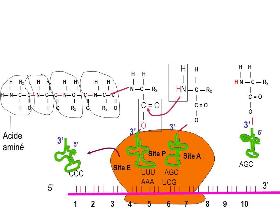 3' 3' 3' Acide aminé 3' 3' 5' HN — C — RX O CCC 1 2 3 4 5 6 7 8 9 10