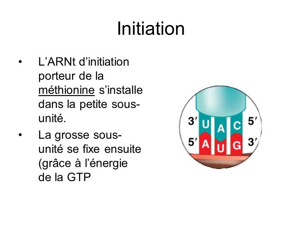 Initiation L'ARNt d'initiation porteur de la méthionine s'installe dans la petite sous-unité.