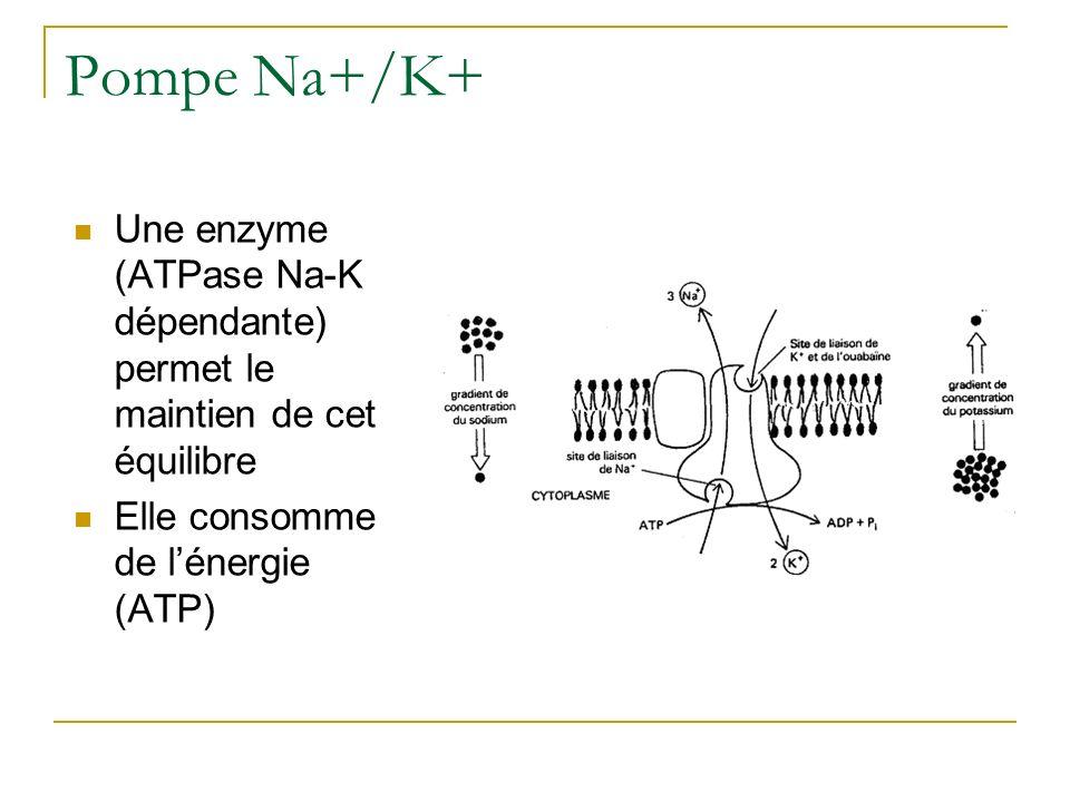 Pompe Na+/K+ Une enzyme (ATPase Na-K dépendante) permet le maintien de cet équilibre.